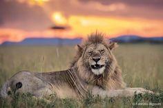 Львы Танзании